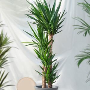 Yucca plant De Carlton